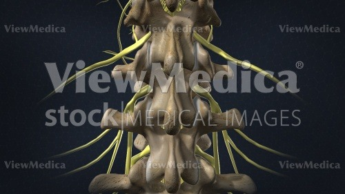ViewMedica Stock Art: Posterior view of T12, L1, and L2 vertebrae
